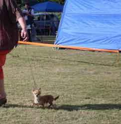 Alfa Chihuahua on show