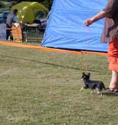 Johenda Chihuahua on show