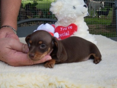 Santitia Kennels - Breeder of Chihuahuas and Miniature Dachshunds
