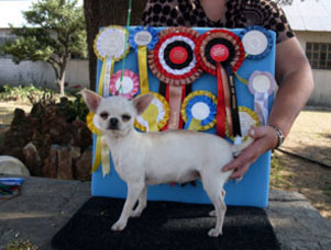 Chihuahua puppies rasied as champions